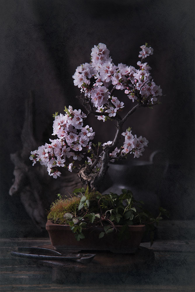 Prunus Tomentosa Bonsai